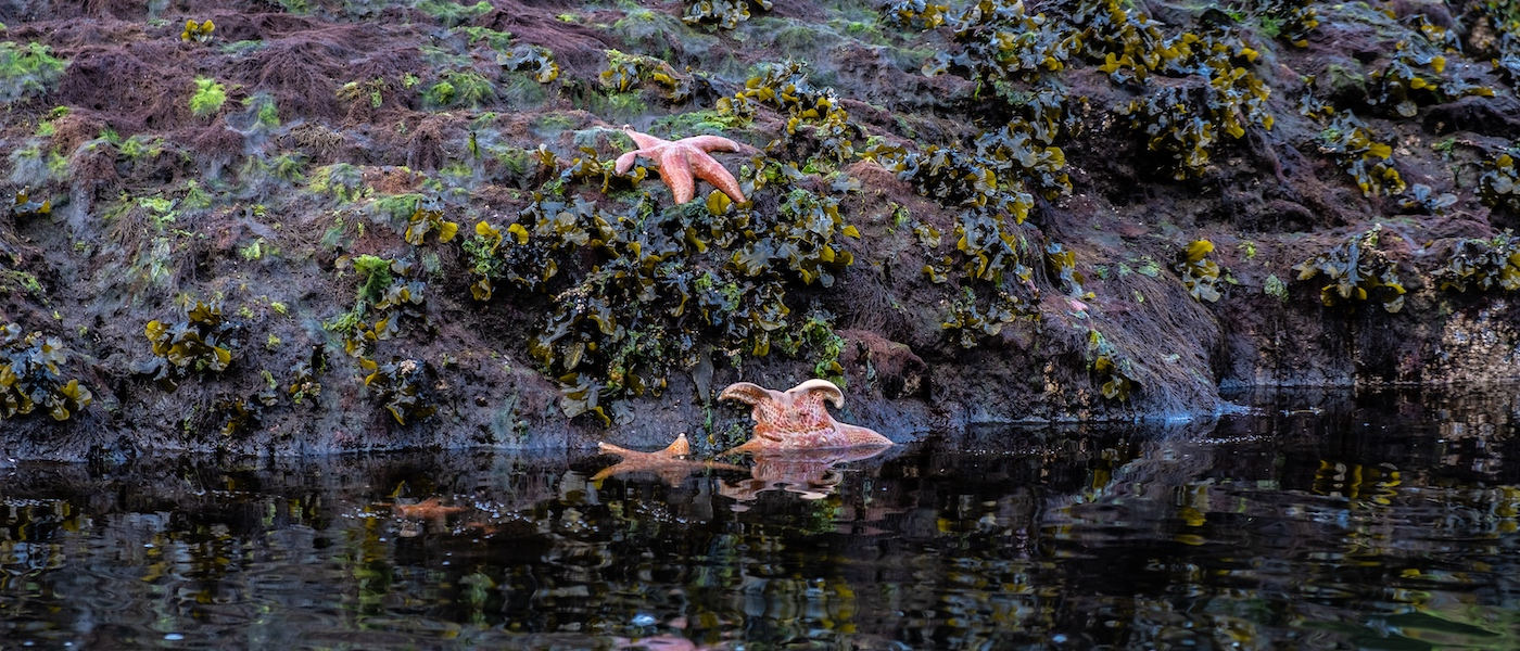 starfish in the water and one on a seaweed-covered rock